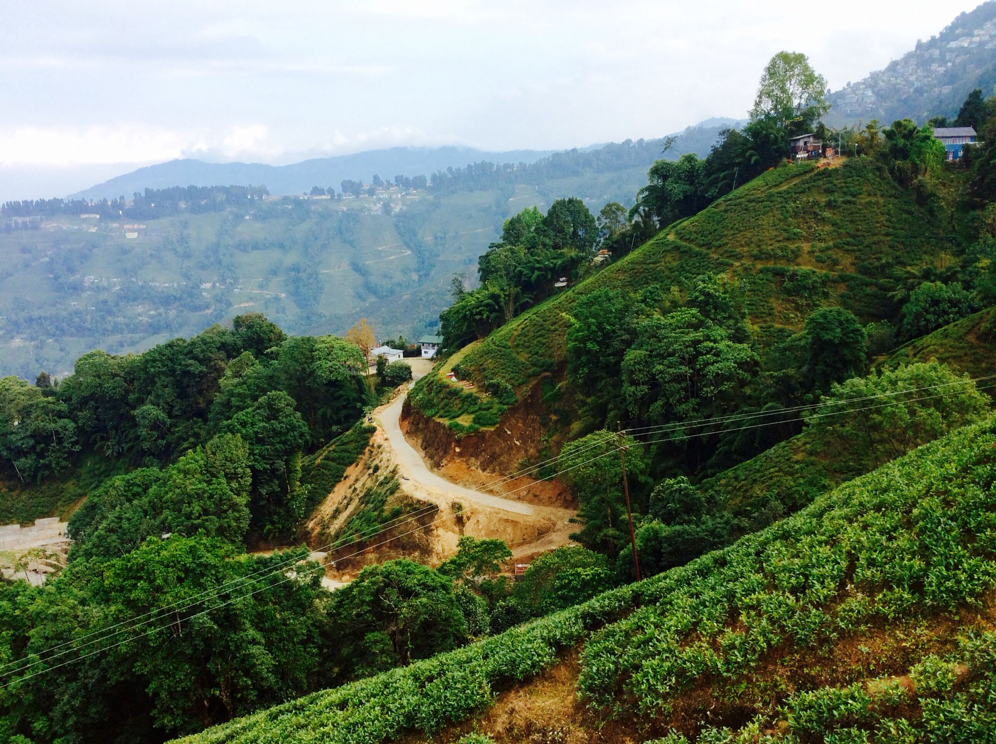 Tea plantations in Darjeeling, India