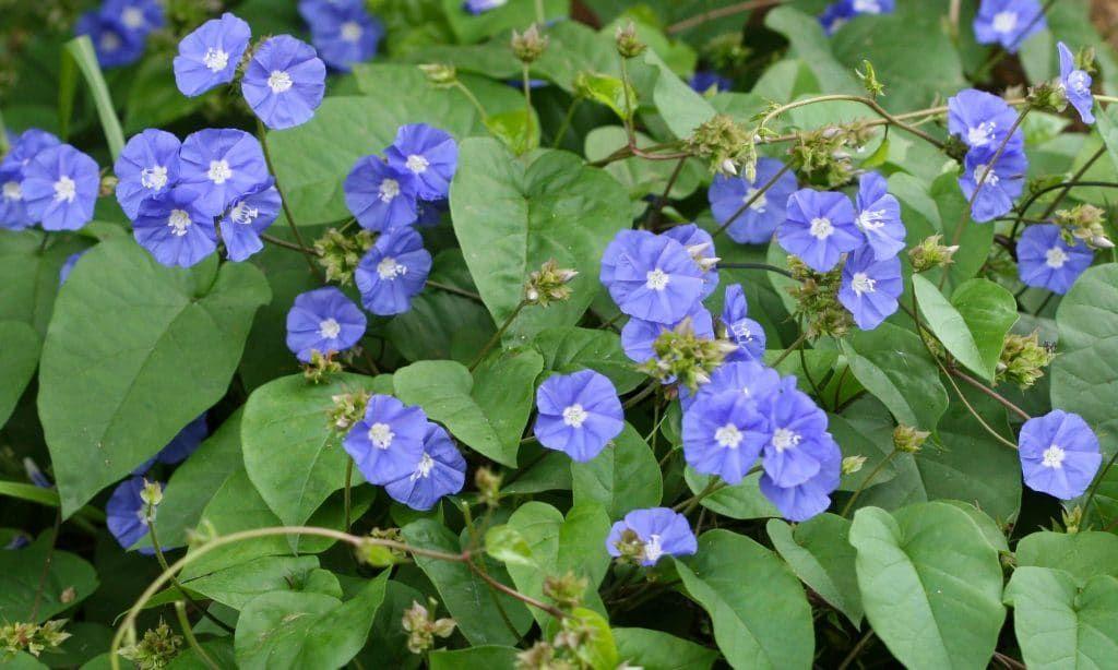 الياسمين الأزرق أو جاكومو أو جاكومونتيا نبات ممتاز لتسلق التعريشات وتغطية جذوع النخل وغيرها ليعطي أزهار ا زرقاء خلابة تعرف عليه أكثر من خلال موقع نباتاتي Plants