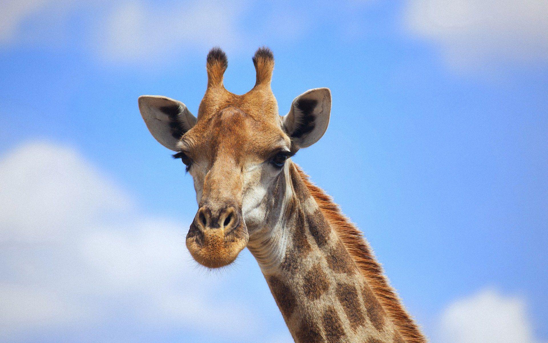 Baby Giraffe Wallpaper Wallpaper Giraffe Images Funny Giraffe Pictures Giraffe