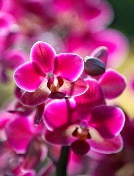 Red orchid flowers flowers flowers pinterest orchid flowers red orchid mightylinksfo
