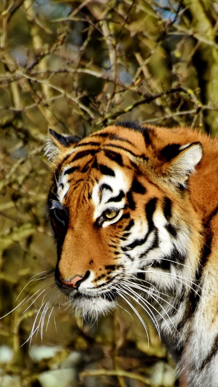 720x1280 Wallpaper Curious Tiger Predator Animal Wildlife Pet Tiger Animals Animal Wallpaper