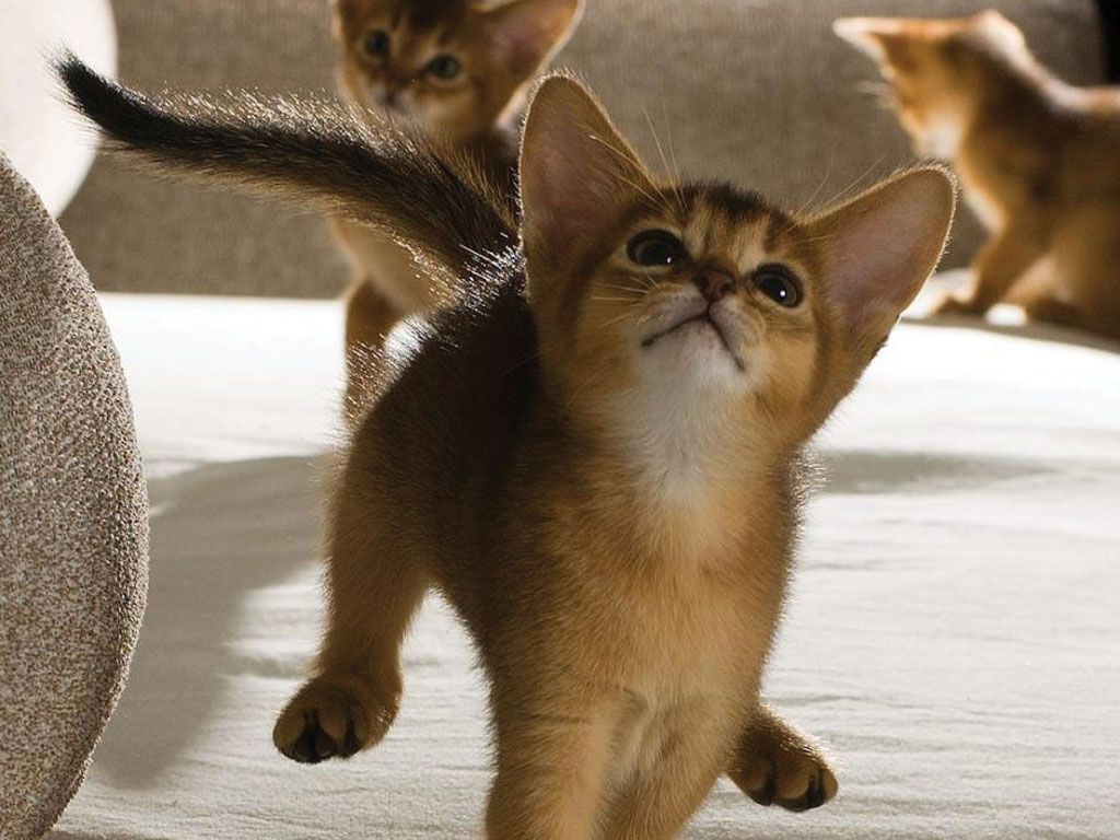 Funny abyssinian kittens | Crazy Cat Lady | Pinterest | Abyssinian ...