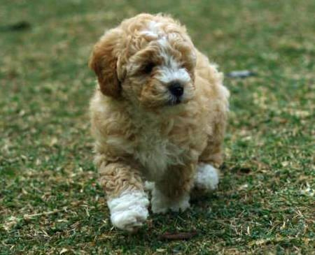 Little Fluffy Baby Poodle Bichon Frise Cocker Spaniel Mix