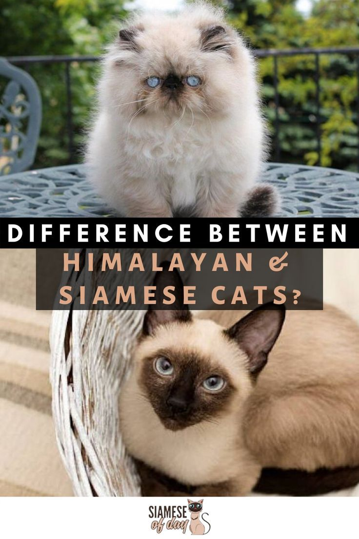 Difference between Siamese and Himalayan Cats Siamese