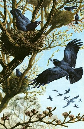 "Crows Ravens Rooks:  ""#Rooks,"" by C. F. Tunnicliffe."