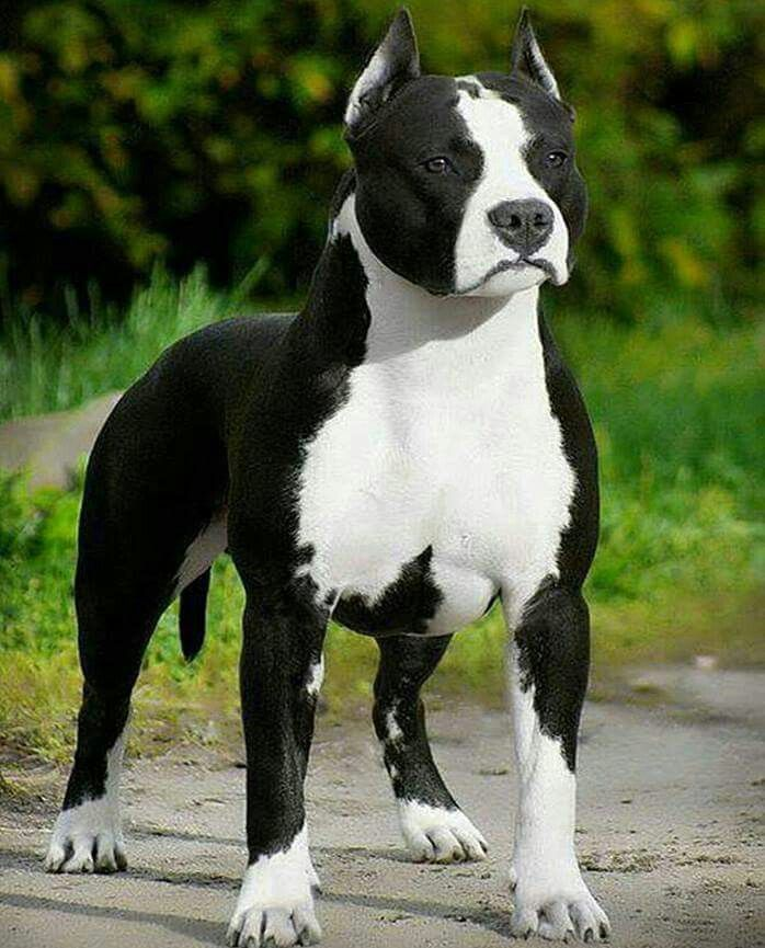 Pin by Sarah Marino on Pitbull Love Pitbull terrier, Dog