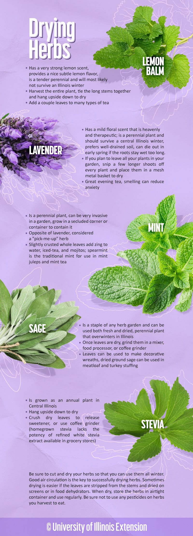 how to cut herbs for drying and some common uses gardening