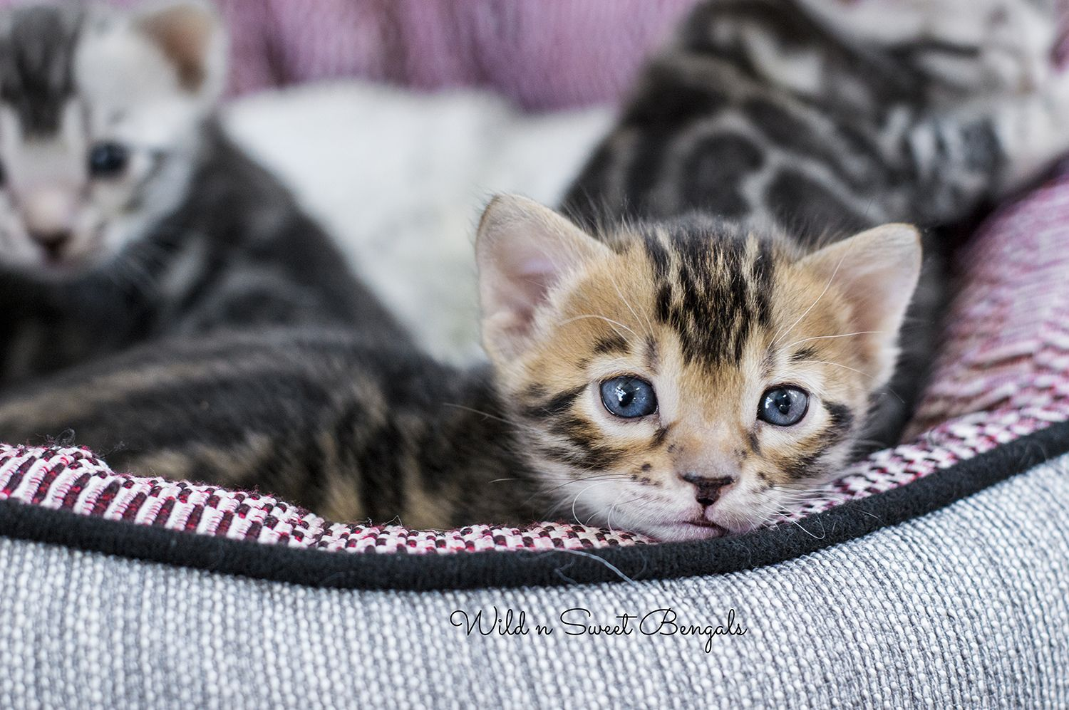 Our Lovely Bengal Kittens Wish You A Great Day Bengal Kitten Bengal Cat Asian Leopard Cat