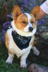 Adopt Blaze On Corgi Dog Corgi Animal Rescue
