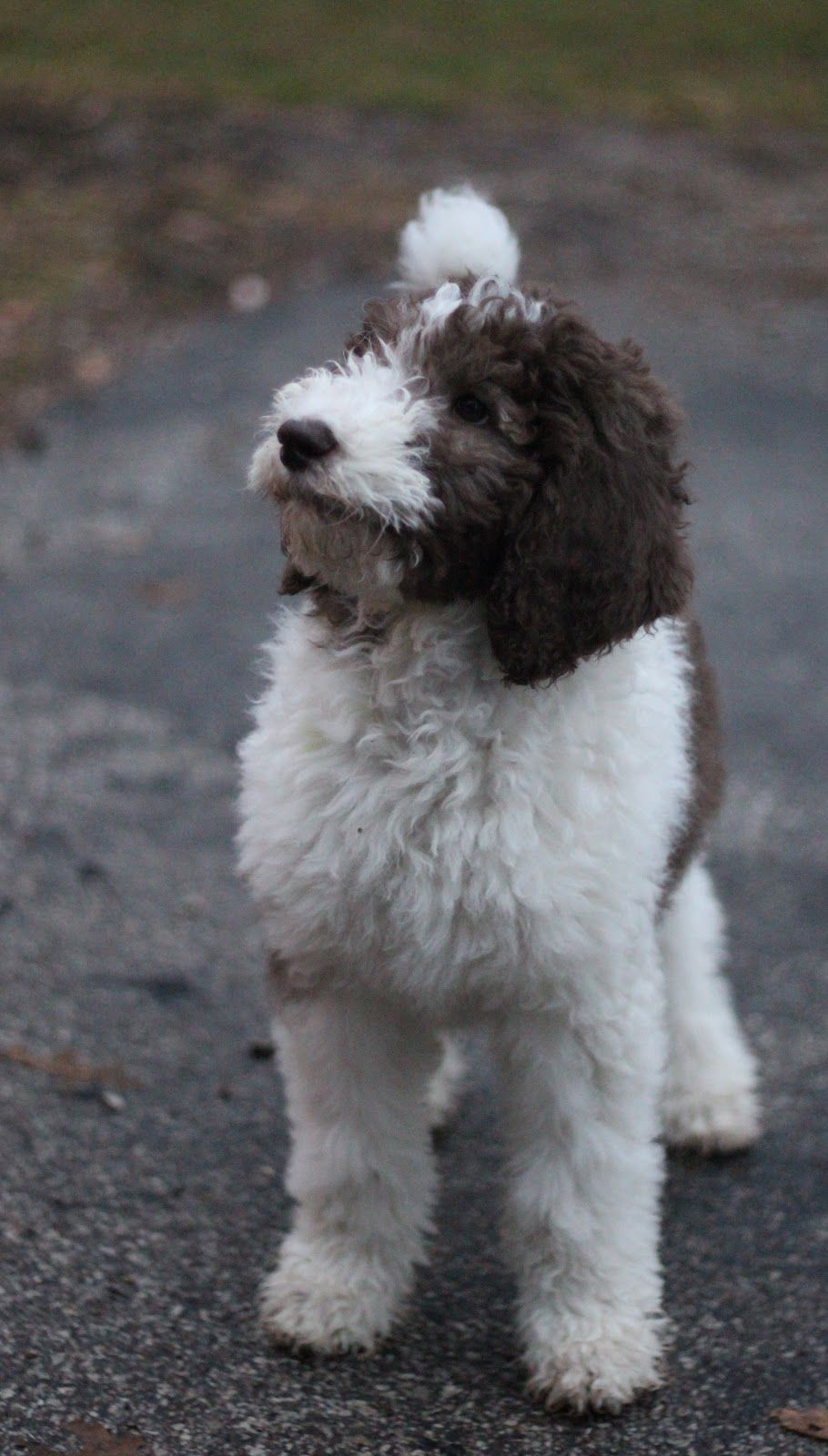 13 Weeks And 26 Lbs Poodle Dog Dog Love Labradoodle Haircut Style