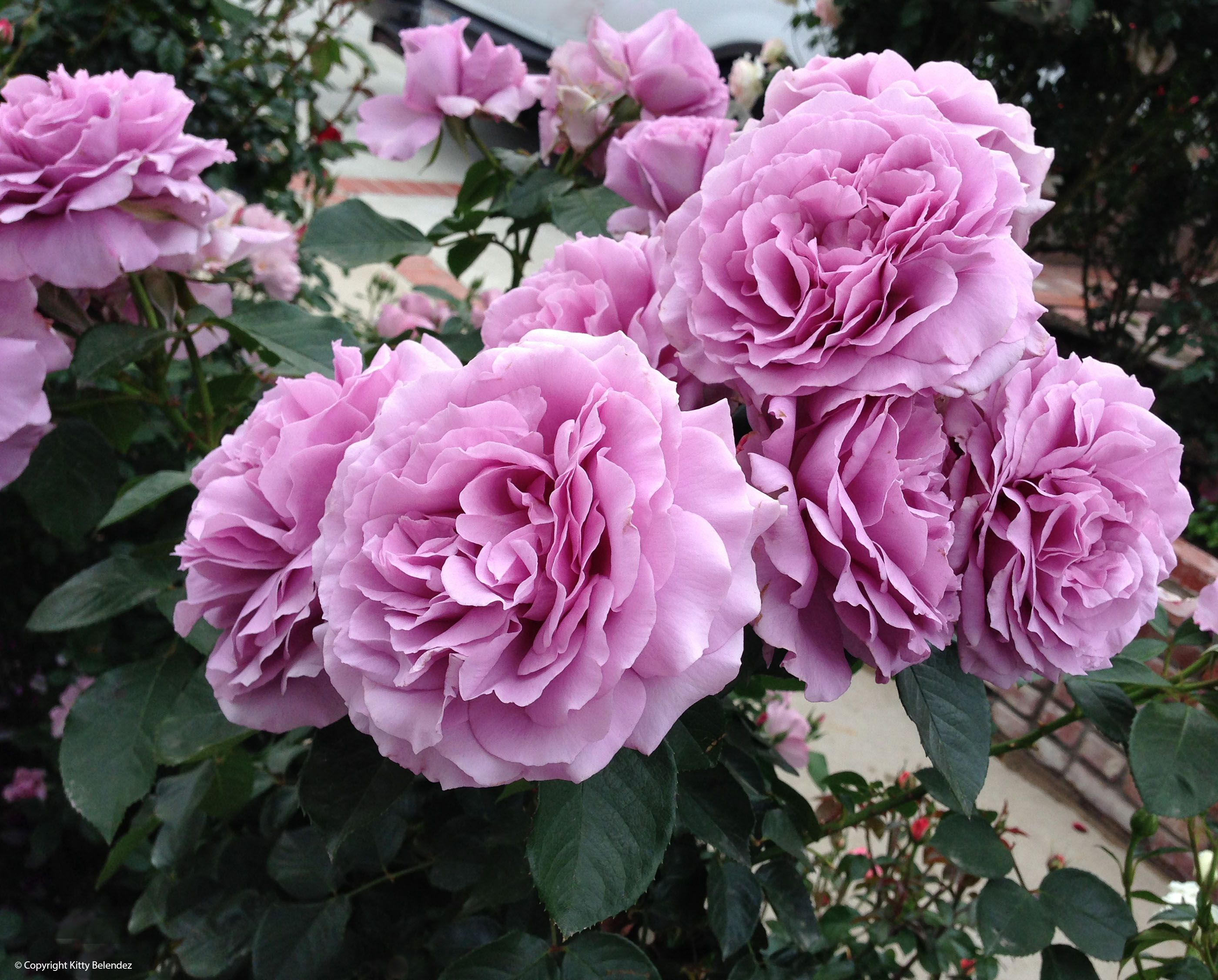 Love Garden Roses: Love Songs, Growing