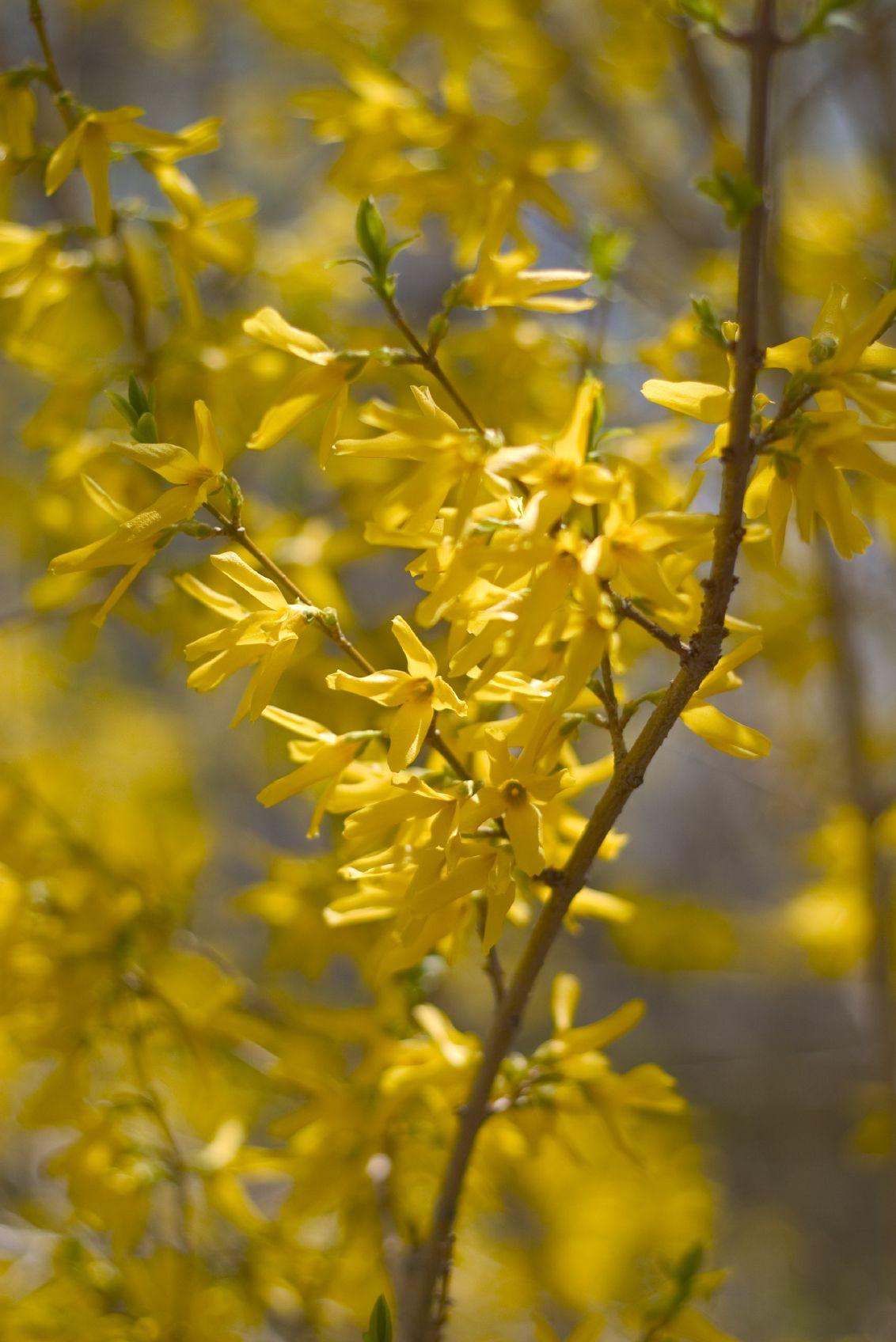 Forsythia Shrub Care How To Care For Your Forsythia Plant Bushes