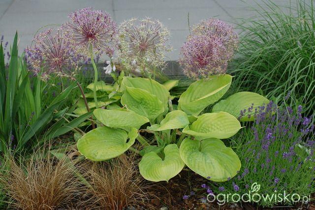 Szałwie czy lawendy? - strona 5 - Forum ogrodnicze - Ogrodowisko