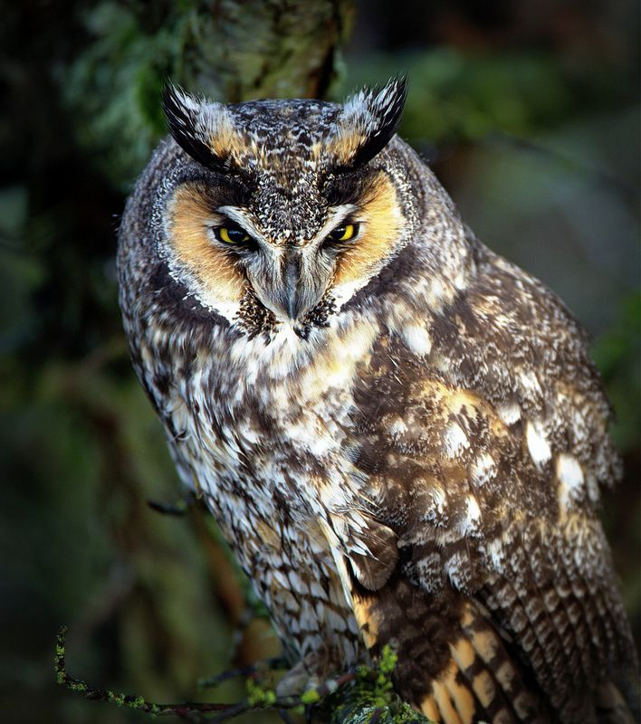 GREAT HORNED OWL Iron On Patch Birds Noctural