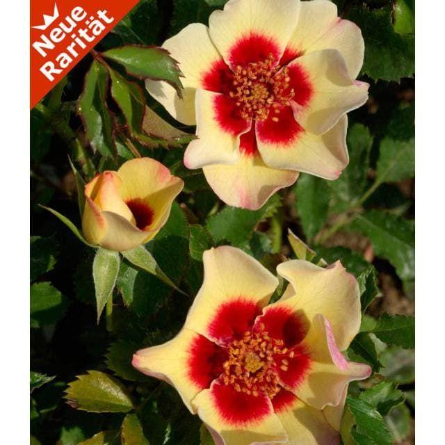 Rose Babylon Eyes Pastel 1 Pflanze Baldur Garten Gmbh
