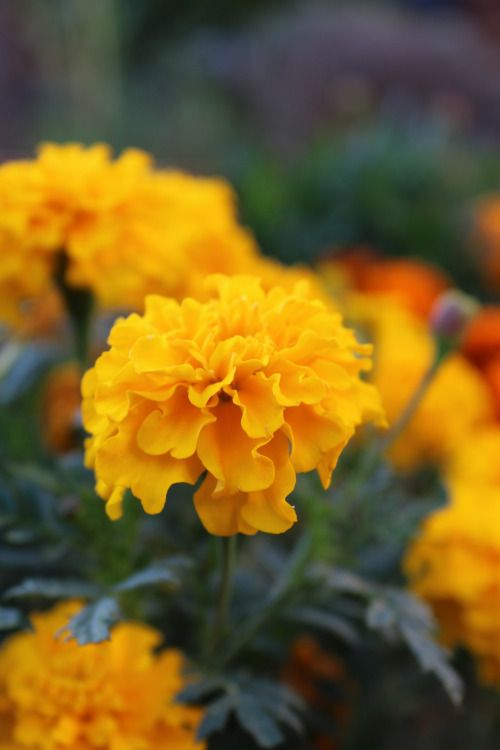 Image result for marigolds Pinterest