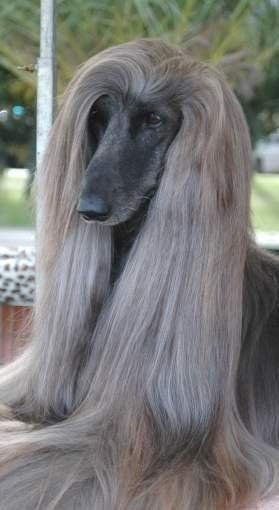 The Judith Light Afghan Hound Most Beautiful Dogs Hound