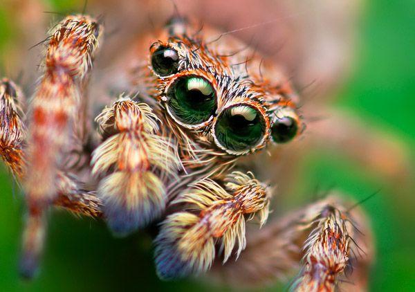 Jumping Spider Close Up Springende Spinne Spinne Springspinnen