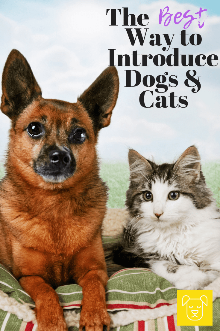 The Best Way To Introduce Cats Dogs Introducing Kitten To Dog Introducing Dog To Cat Introducing Puppy To Cat