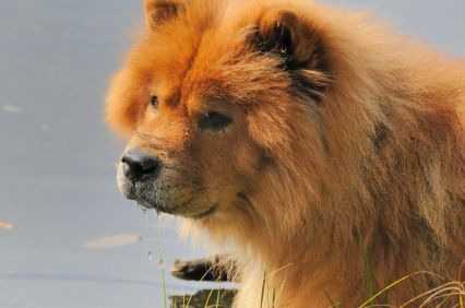 Chow Chow Chow Chow Dogs Chow Dog Breed Banned Dog Breeds