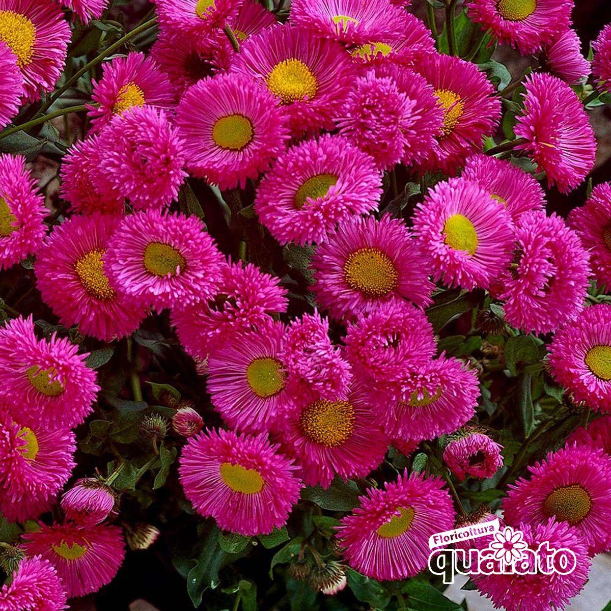 Piante Per Aiuole Perenni piante perenni fiorite (con immagini) | piante perenni