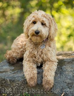 Medium Apricot Australian Labradoodle Labradoodle Dogs