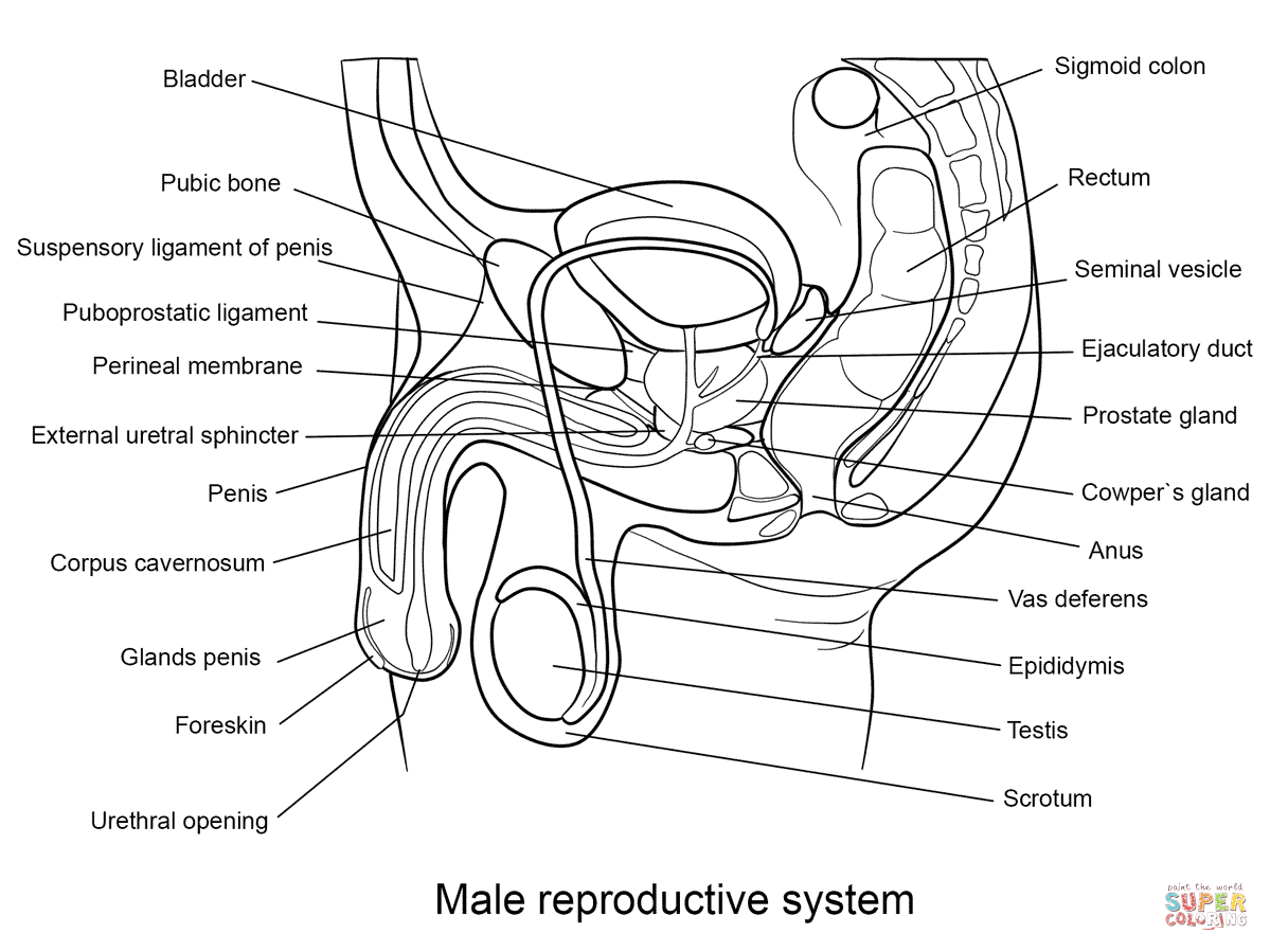 male-reproductive-system-coloring-pages.png (1199×899) | Human ...