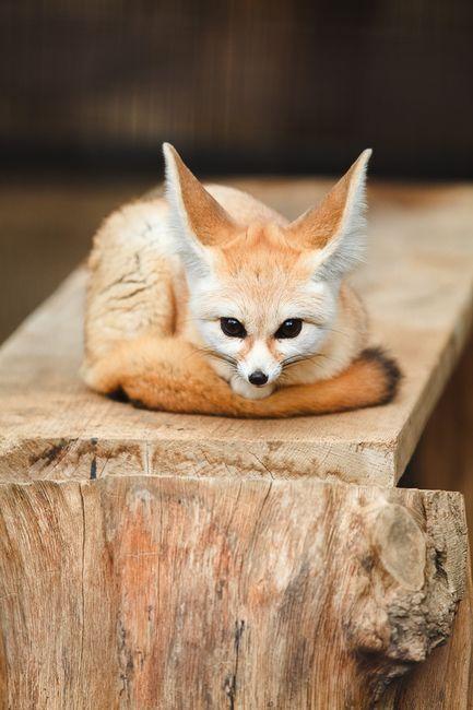 FENNEC FOX                                                       …