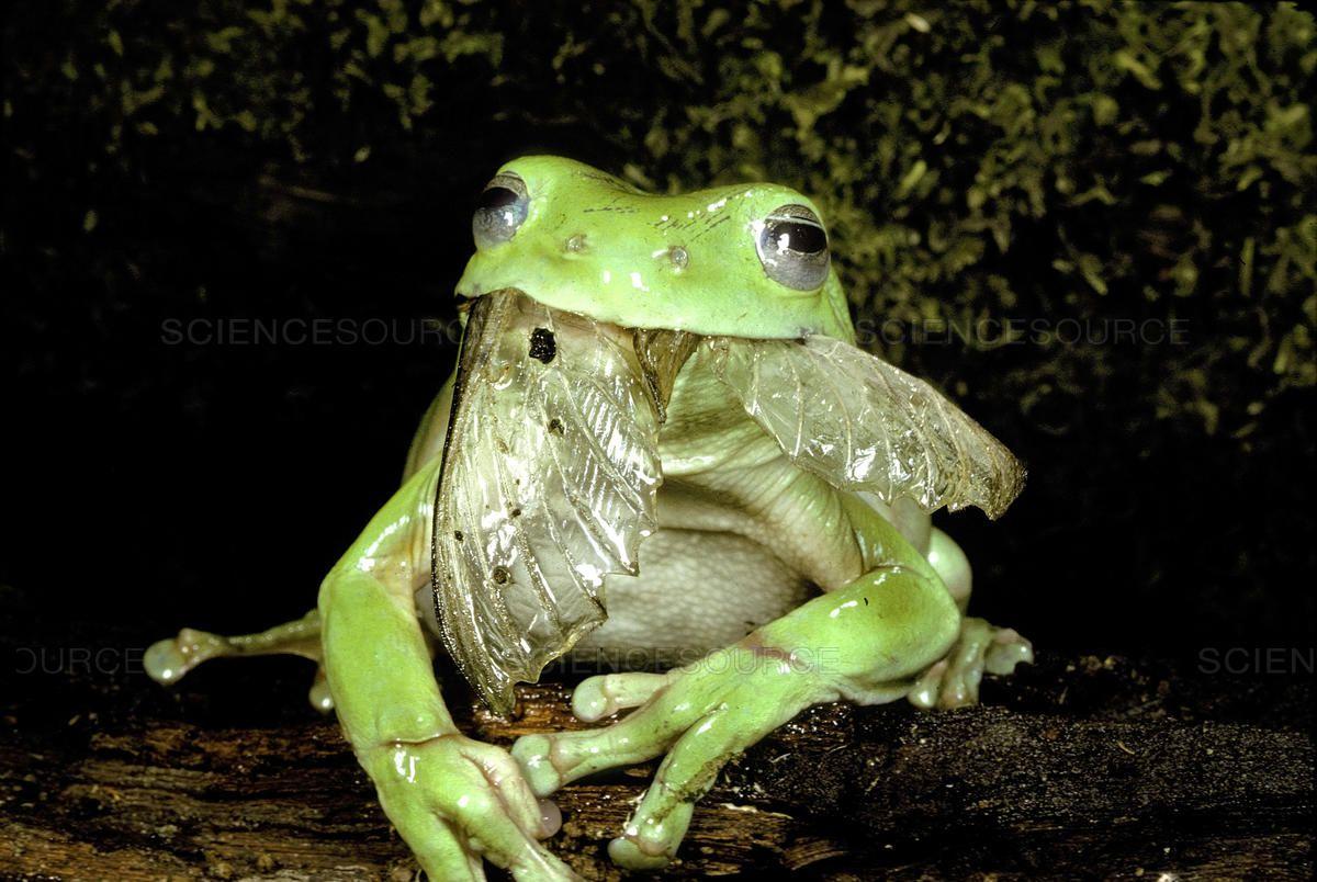 Keptalalat A Kovetkez Re Tree Frog Eat