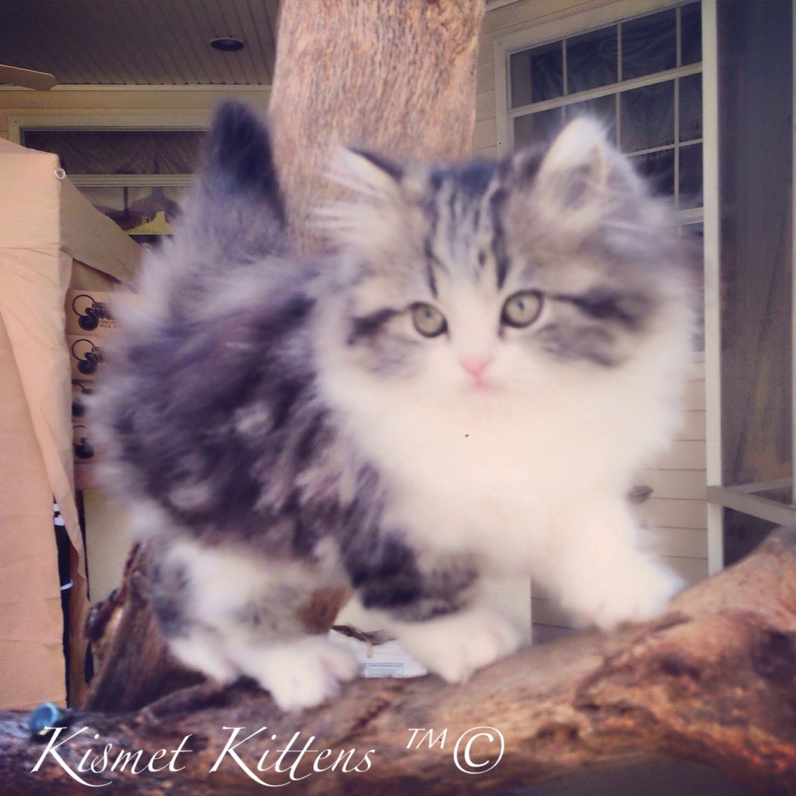 For Sale Kismet Kittens Bicolor Tabby Doll Face Kitten Female Ready To Go 1 25 15 To Reserve Text Persian Cat Doll Face Teacup Persian Kittens Persian Cat