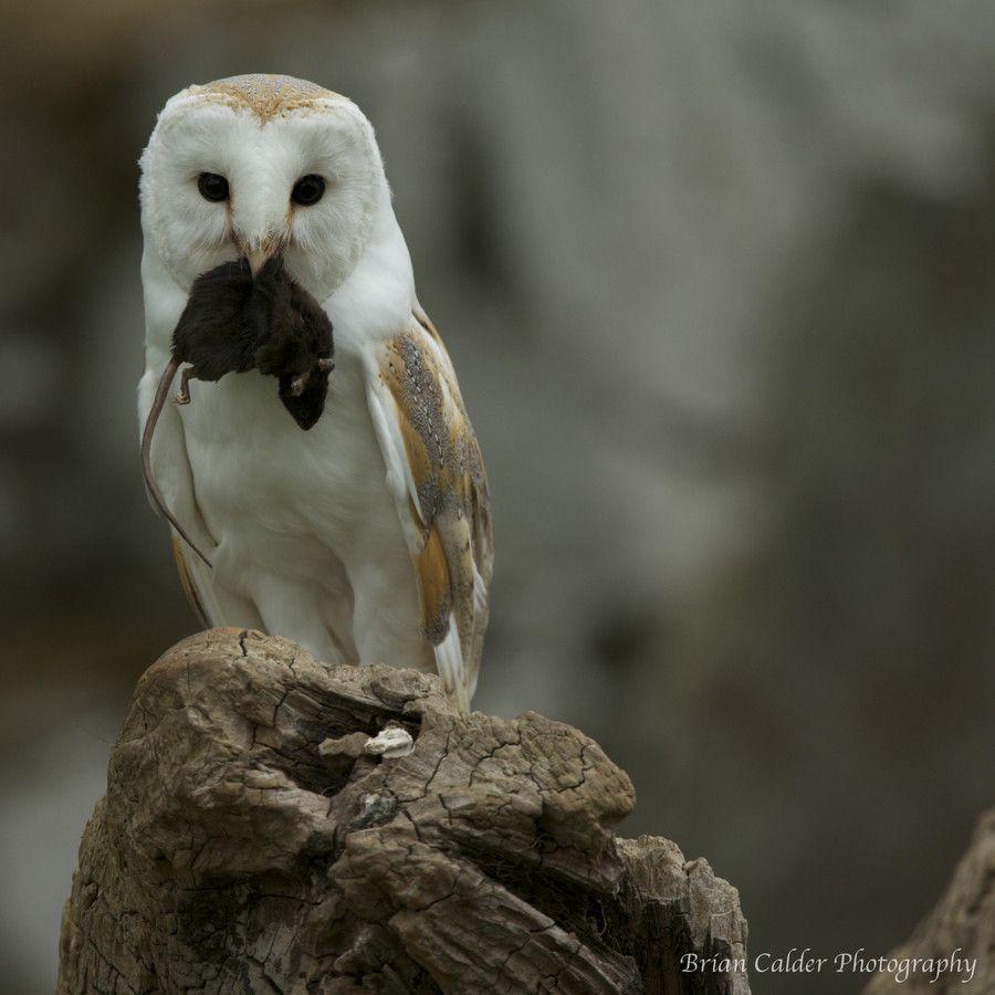 Barn Owl by Brian Calder on 500px