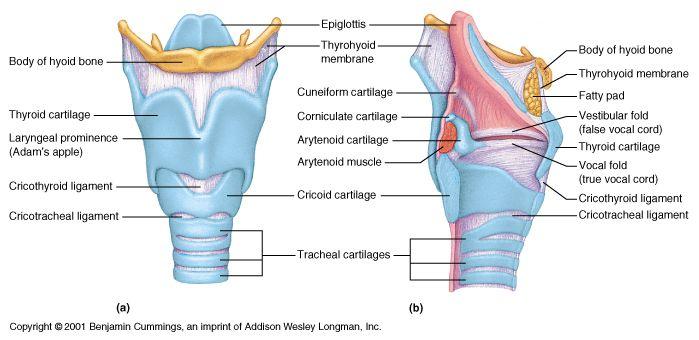 Ch22 Larynx Thyroid Anatomy Respiratory System Voice Therapy