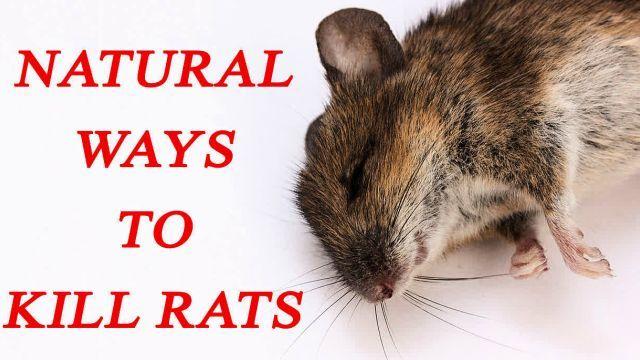 14 Ways To Kill Rats Naturally Natural Rodent Repellant Homemade Rat Poison Rats
