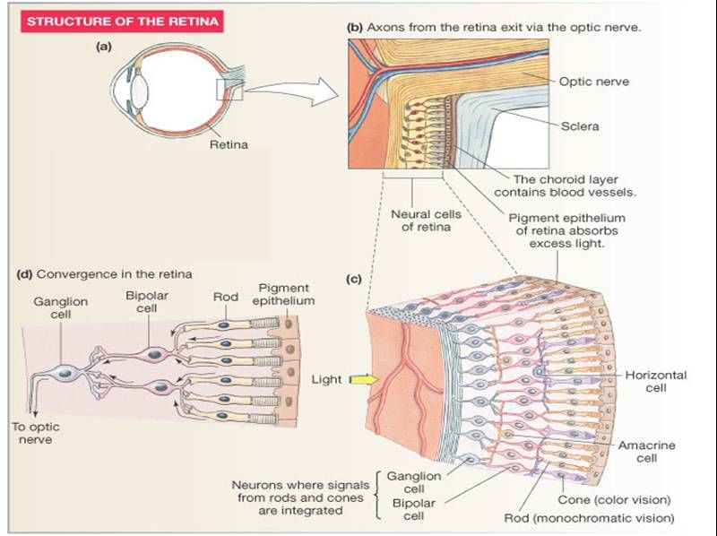 Associate Degree Nursing Physiology Review In 2020 Physiology Biology Notes Ciliary Muscle