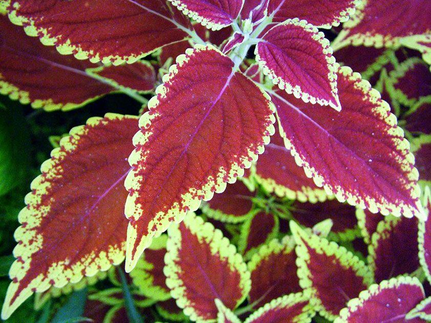 цветы с бордовыми листьями фото чему посвящен данный