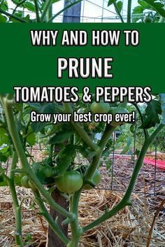 Why You Need To Prune Tomatoes and Peppers – And How To Do It!