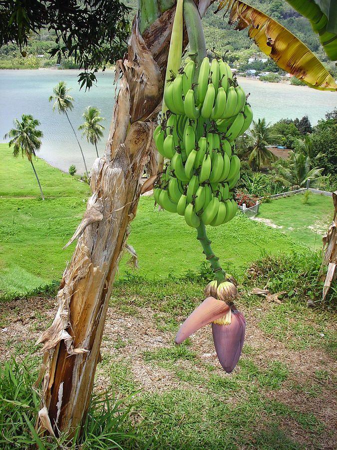 Banana Bora Photograph