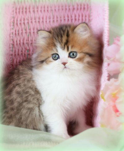 Golden White Bicolor Persian Kittens Cute Cats Dogs Kittens
