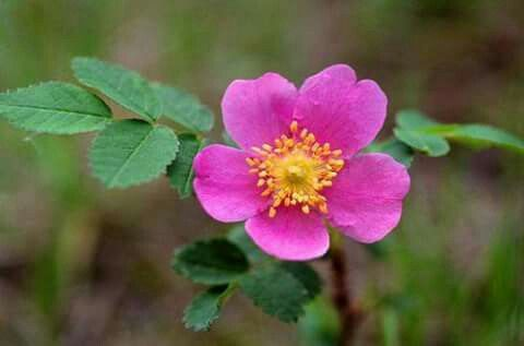 Wild Rose Wild Rose Tattoo Wild Roses Flower Essences