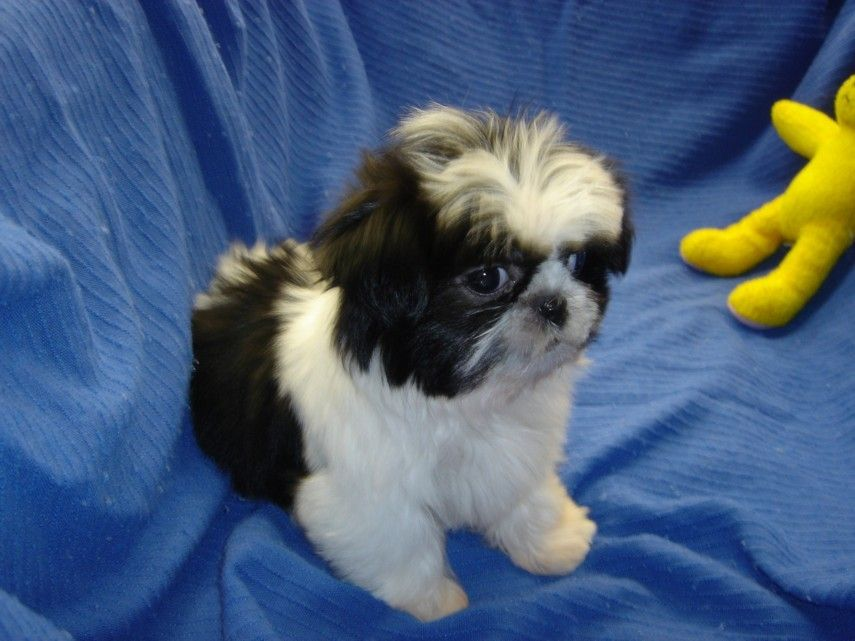 Patience S Puppies Puppies For Sale In Delaware Dog Breeder