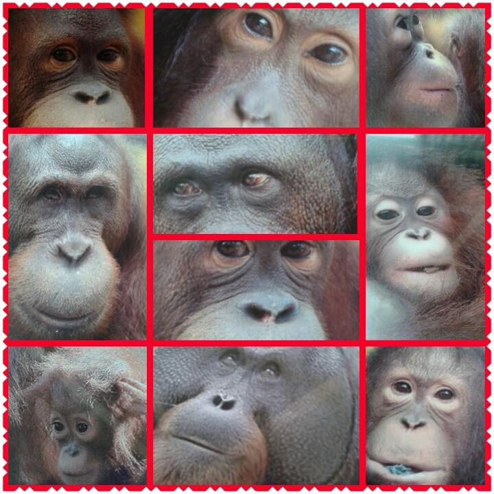 Primates of Borneo: The many faces of the Orangutan (Man of the jungle)