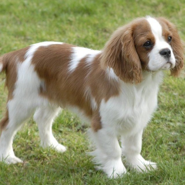 Pin by FRANCIS80 on CAVALIER KING CHARLES | Bébés animaux ...