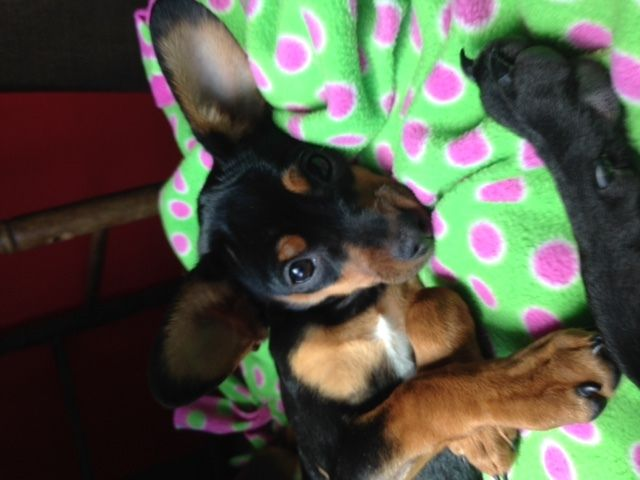 Available For Adoption Roku Is A Female Dog Miniature Pinscher