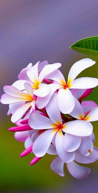 Maria Bonita Plumeria きれいな花 植物栽培 熱帯の花