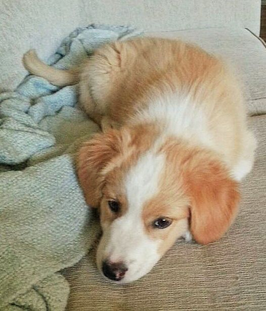 Golden Retriever Australian Shepherd Mix Ellie Australian