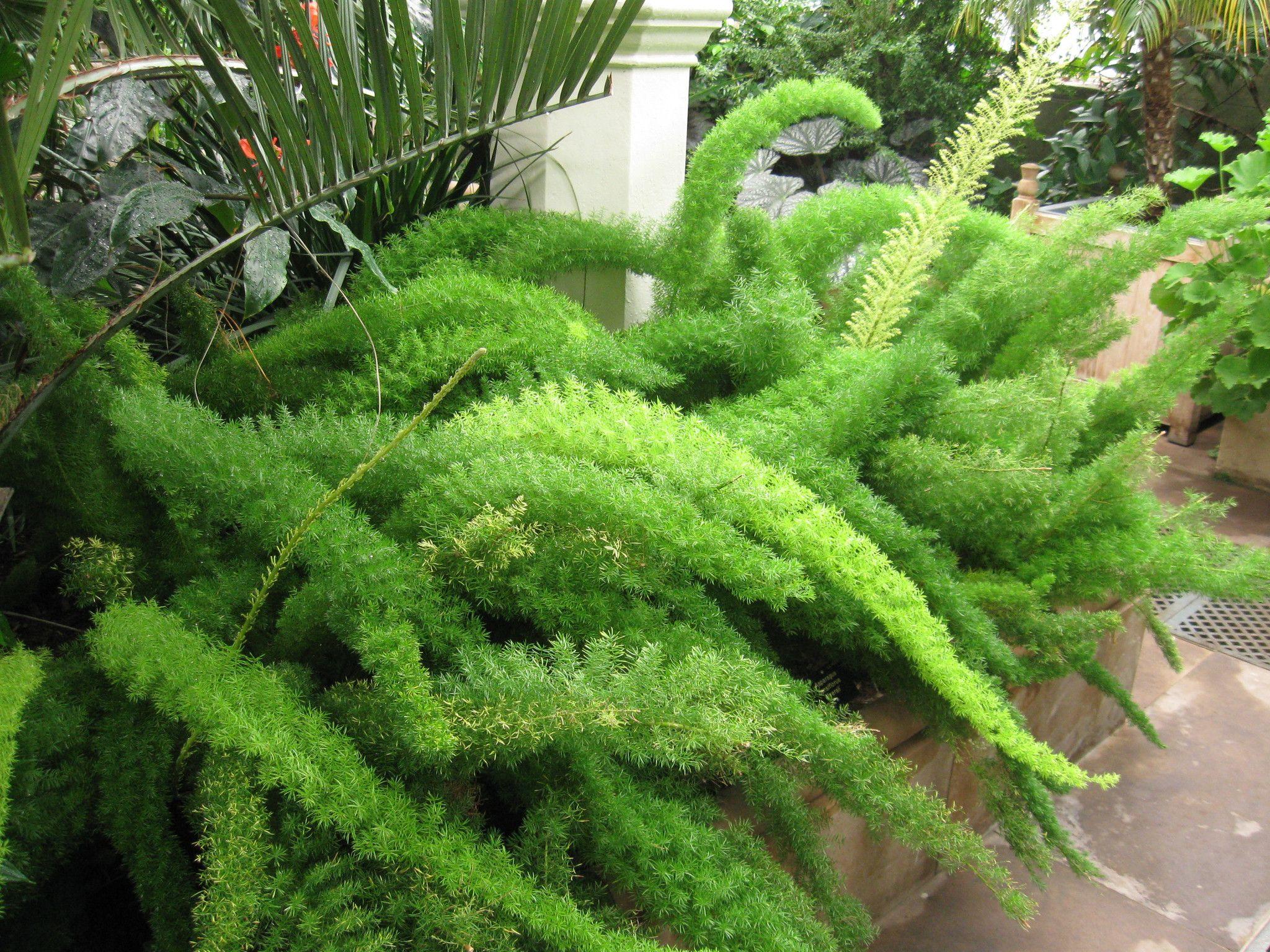 Asparagus Spp (Asparagus Ferns)
