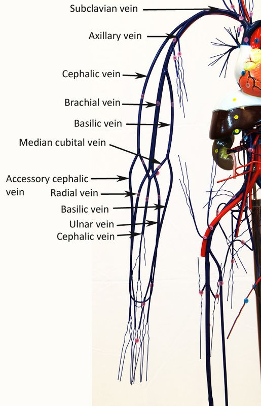 Image result for wire model of veins and arteries ...