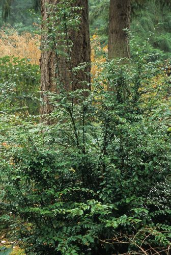 Vaccinium Ovatum Evergreen Huckleberry One Of The Most Versatile And Underused Native Plants Of The Pacific Nort Plants Pacific Northwest Garden Shade Plants