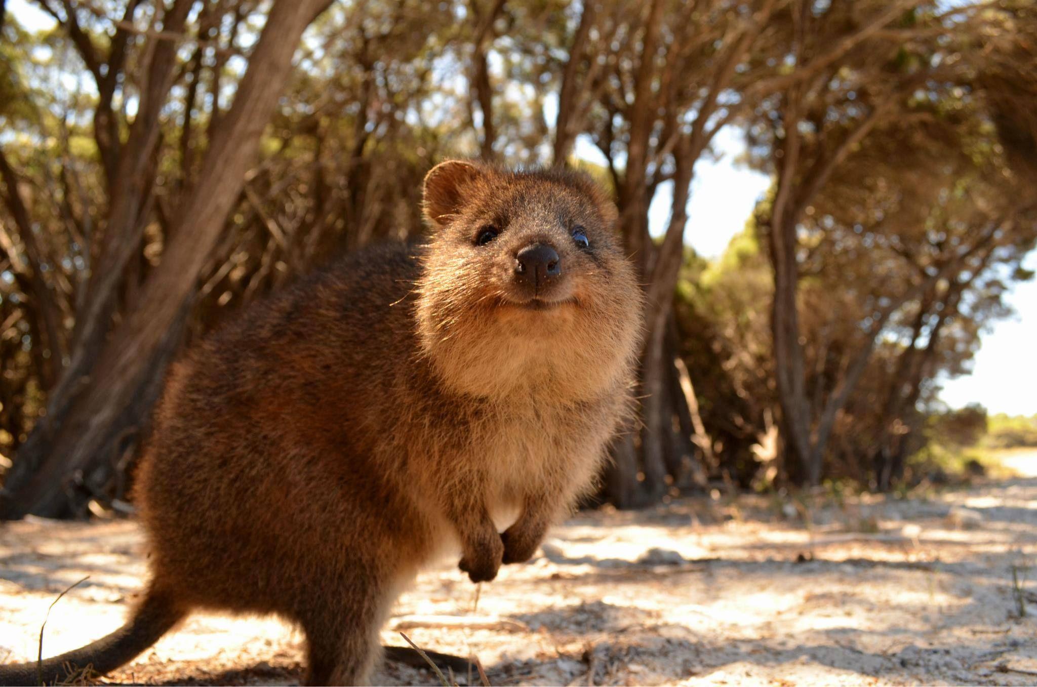 Meet The Quokka Australia S Cutest Macropod Happy Animals Quokka Quokka Animal