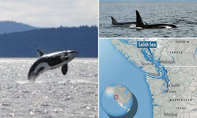 World's oldest killer whale is spotted off the coast of Washington